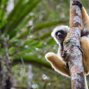 madagascar-robin-hoskyns-diademed-sifaka-lemur-mantadia-critically-endangered-spaceonleft