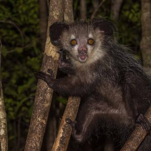 nws-st-madagascar-lemur-aye-aye-at-night